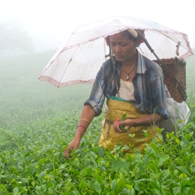 Plucking tea leaves in Darjeeling during the rains