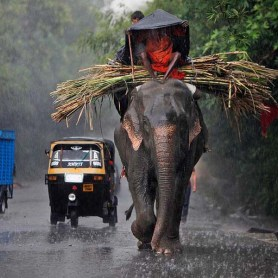 An Indian mahout covers himself with a plastic sheet as he rides an elephant in heavy rain in Jammu, India.