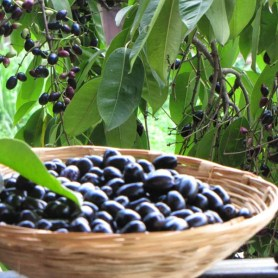 Jamun fruit or Indian blackberry is available for a short time starting with the monsoon